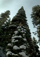 Yellowstone Towering Trees in Snow