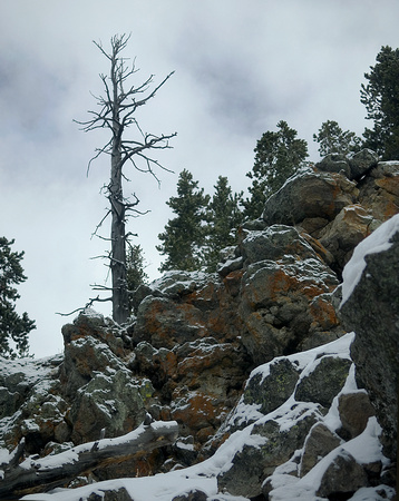Lone Pine on Rocky Incline